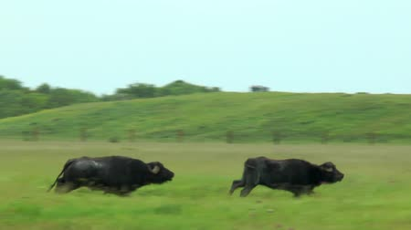 býci : Two black bull run on the green field. Dostupné videozáznamy