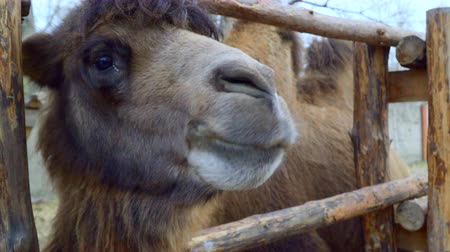 проливая : Close-up of head Bactrian camel.