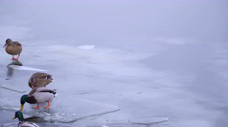 urban birds : Wild duck walking on the ice of a frozen river.