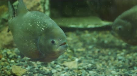 red bellied : Ordinary piranha is a species of predatory radiant fish from the family of piranhas