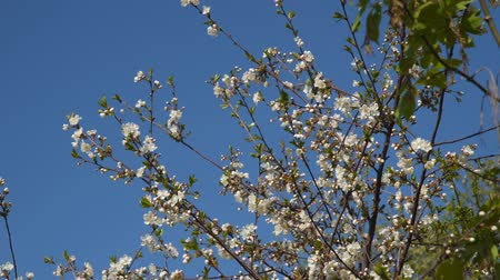 yumuşaklık : Branch of a blossoming tree against the blue sky.
