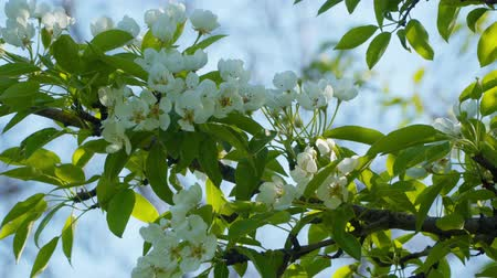 pereira : Branch of the Blossoming Pear. Stock Footage