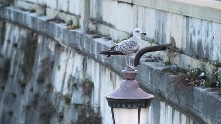 sokak lâmbası direği : Seagull on an old street lamp. Rome, Italy Stok Video