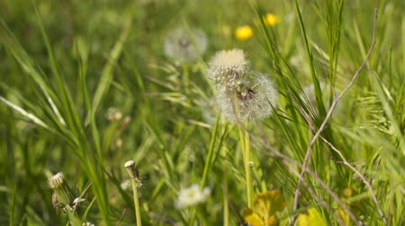fuzz : Flowers dandelion. Spring background with dandelions Stock Footage