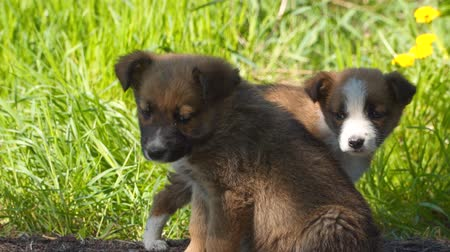 cur : Two homeless puppies on a background of green grass.