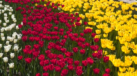 tulipan : Glade with multicolored tulips. White, red and yellow tulips