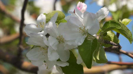 тычинка : Blooming apple tree Close up Стоковые видеозаписи