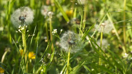 fragilidade : Dandelions among green grass. Wildflowers