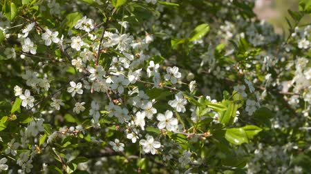botanik : Flowering fruit trees. White flowers on a tree branch Stok Video