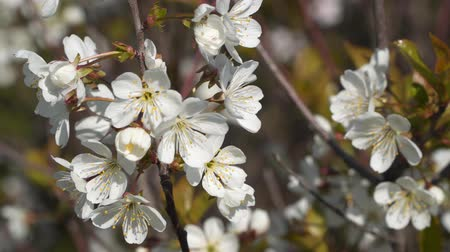 pistil : White flowers on a tree branch. Stock Footage