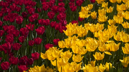 stonky : Field of red and yellow tulips.