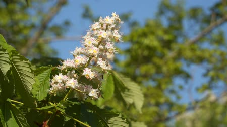 vitaliteit : A branch of flowering chestnut. Spring flowers Stockvideo