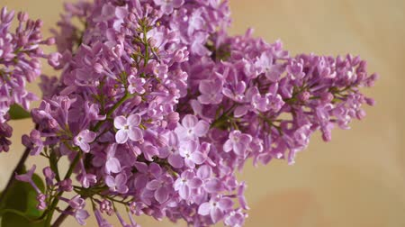 estames : A branch of blossoming lilac. Spring flowers