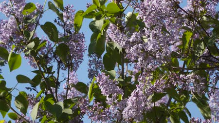 estames : Bush blossoming lilac against the blue sky. Focus change Vídeos