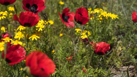 wildflowers : Red poppies among wildflowers and herbs.