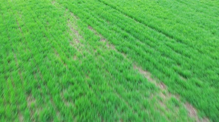 Spring green agricultural fields. A shot from a drone that flies over a field Stock Footage