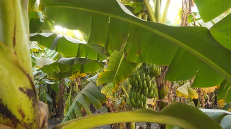 banan : Banana palm trees. Banana Grove in Egypt.