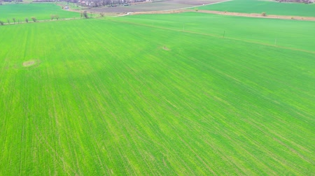 campo grano : Agricultural field in the spring. Aerial view