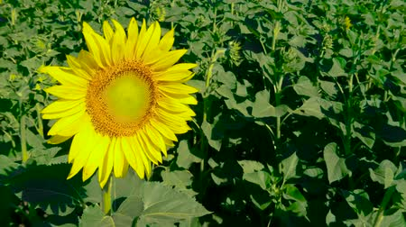 チャンプ : Panorama of opened beautiful sunflower among other closed. Be the first. Concept of leadership. Agricultural crops. Cultivation of varieties for vegetable oils