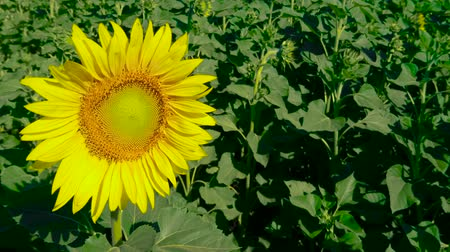 champ : Opened beautiful sunflower among other closed. Be the first. Concept of leadership. Agricultural crops. Cultivation of varieties for vegetable oils.