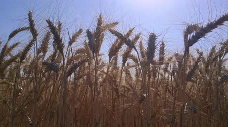 zab : Field golden ears of wheat. Symbol of harvest, healthy food and prosperity