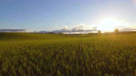 milho : Aerial shot of field with sunset, beautiful light and blue sky and clouds Stock Footage