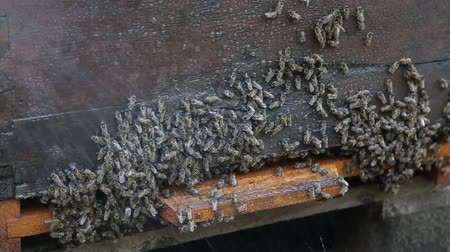 Cooling of the hive Stock Footage