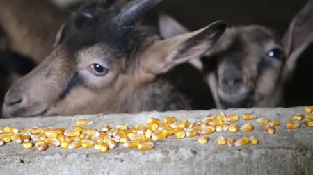 corral : Goats eat corn