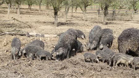 Mangalitza pigs and piglets in the open Stock Footage