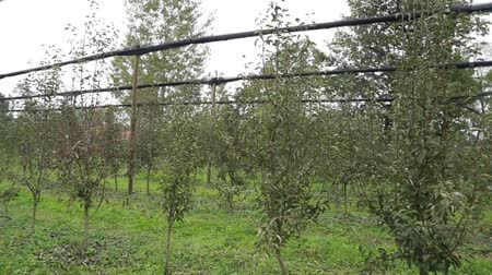 Apple orchard, hail protection, pan left