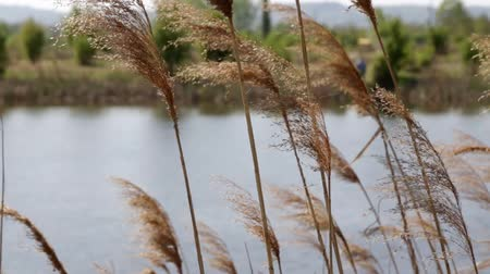 Cattail by the lake
