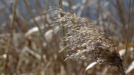 cattail : Dry reed swinging Stock Footage