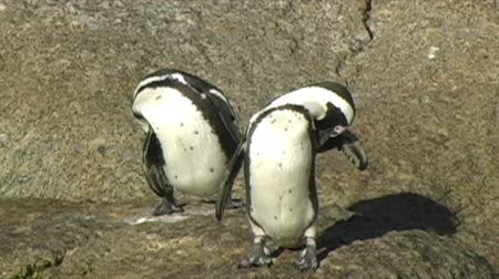 waddling : 1380 Penguin In Cape Town Africa .mov