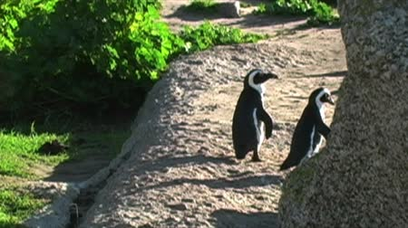 waddling : 1387 Penguin on Rocks by Ocean in Cape Town Africa.mov