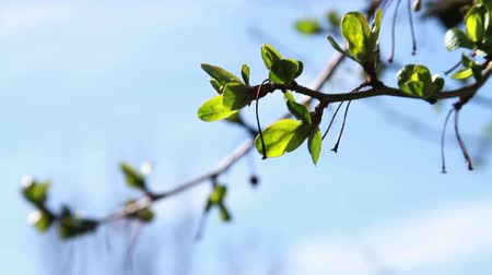 estame : 1205 Tree Growning New Leaves, Spring is Here.mov
