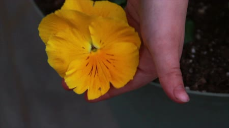 laleler : 1213 Yellow Flower being held .mov Stok Video