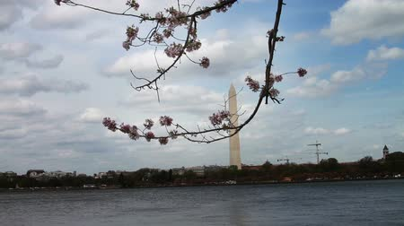 culture : 1223 Cherry Blossoms Washington Monument in DC.mov Filmati Stock