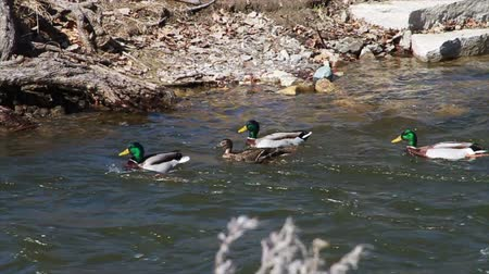 çiftleşme :  Ducks Playing in a River, Slow Motion Stok Video