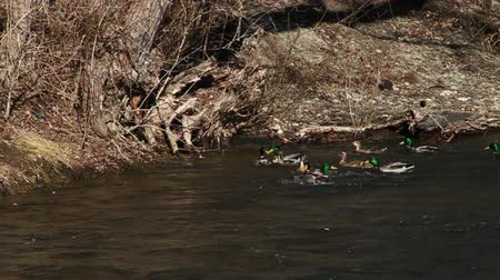 çiftleşme :  Many Ducks Flying and Landing in River, Slow Motion  Stok Video