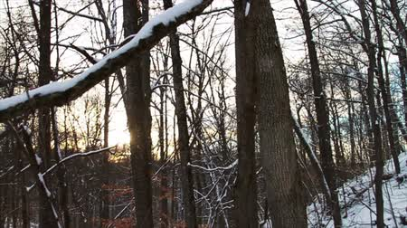 pino :  Fresh Snow in the Forest and Trees at Sunset