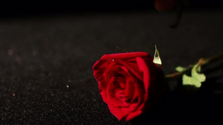 czerwone tło : Roses Being Picked Up in Slow Motion Wideo
