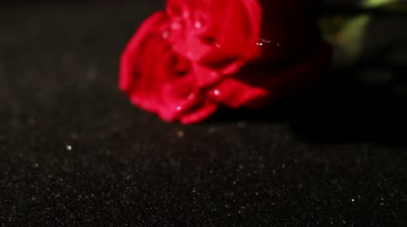 czerwona róża : Roses Being Picked Up in Slow Motion Wideo