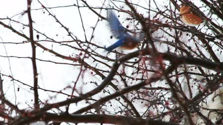 ave canora : Bluebird in Tree