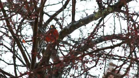 ave canora : Many Red Robbins on Tree  Vídeos