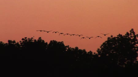 çiftleşme : Ducks Flying at Sunset Stok Video