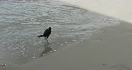 crows feet : Crow at the Beach in the Ocean Waves, 4K