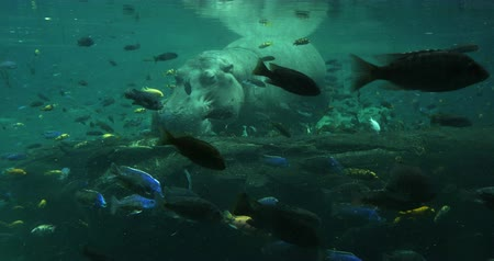 underwater video :  Hippopotamus Under the Water with Fish Swimming, 4K