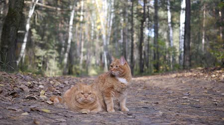 cimborák : Two beautiful red cat in the forest Stock mozgókép
