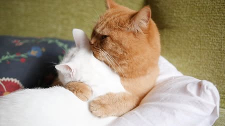 coon : The red cat and the white cat hug, wash each other and sleep. Happy red cat. Cat love