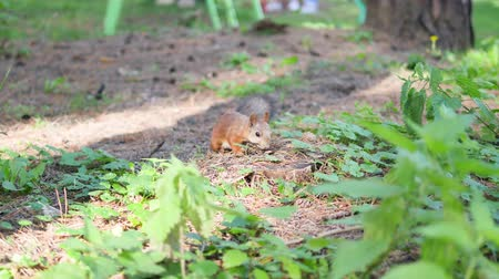 gnawer : Squirrel red fur autumn forest on background wild nature animal thematic. Stock Footage